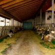 Cows in the stable — Stock Photo #40349991