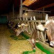 Cows in the stable — Stock Photo #40350001