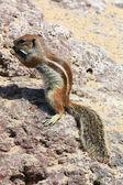 Squirrel, Fuerteventura — Stock Photo