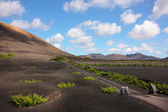 Vineyard in Lanzarote — Stock Photo