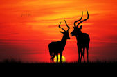 Impala in love — Stockfoto