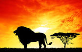 Lion at sunset — Stock Photo