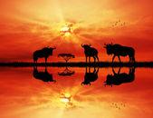 Gnuer i solnedgången — Stockfoto