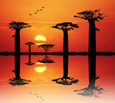 Baobab at sunset — Stock Photo