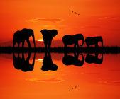 слоны на закате — Стоковое фото