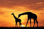 Gün batımında zürafa — Stok fotoğraf