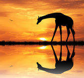 Giraffe at sunset — Stockfoto
