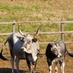Cows in Maremma — Stock Photo #50345679