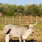 Cows in Maremma — Stock Photo #50345705