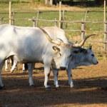 Cows in Maremma — Stock Photo #50345971