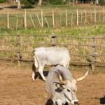 Cows in Maremma — Stock Photo #50346717