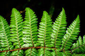 Detail of a beautiful leaf of Fern close-up — Stockfoto