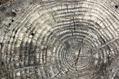 Tree texture with rings — Stock Photo