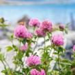 Stock Photo: Meadow pink blooming flowers