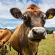 A chewing cow — Stock Photo