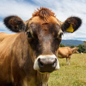 Cow looking into the camera — Stock Photo