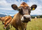 Una vaca masticación — Foto de Stock
