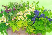 Medicinal plants — Stock Photo