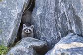 Szopa na skałach — Zdjęcie stockowe