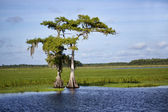 Two cypress trees along the Saint Johns River — Stock Photo