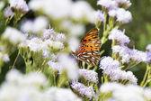 Gulf Fritillary Butterfly — Stock Photo