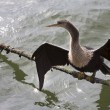 American Anhinga (darter) sunning — Stock Photo