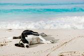 Dog sleeping on the beach — Stock Photo