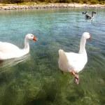 Geese at lake Kournas at island Crete, Greece. — Stock Photo