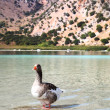 Geese at lake Kournas at island Crete, Greece. — Stock Photo