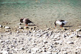 гуси на озере курнас на остров крит, греция. — Стоковое фото