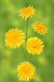 Dandelions on a blurred background. — Stock Photo