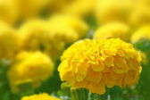 Meadow flowers marigold. — Stock Photo