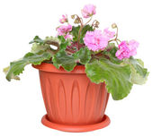 Flower violet in a pot isolated. — Stock Photo