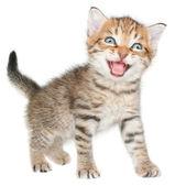Mewing kitten isolated — Stock Photo