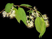 Blossoming linden isolated — Stock Photo