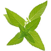 Sprig of mint close up isolated — Stock Photo