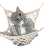 Cute gray kitten thumb-sucking in a hammock — Stock Photo