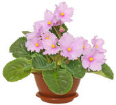 Violet in a pot isolated — Stock Photo