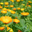 Calendula officinalis. — Stock Photo