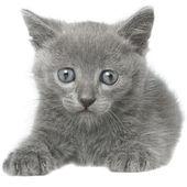 Small gray shorthair kitten sitting. — Zdjęcie stockowe