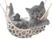 Cute gray kitten lying in a hammock and yawns — Stock Photo