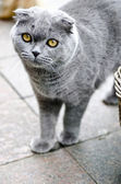 Chartreux cat — Stock Photo