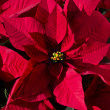 Beautiful poinsettia — Stock Photo #17413269