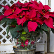 Beautiful poinsettia — Stock Photo #17413289
