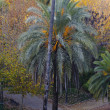 Stock Photo: Phoenix Canariensis. Palm tree in Tenerife. Canary Islands. Spain