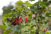 Cluster of a red currant on a branch — Stock Photo