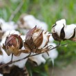 Close-up of Ripe cotton bolls on branch — Stock Photo