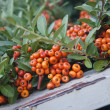 Close up bright rowan berries on a tree — Stock Photo
