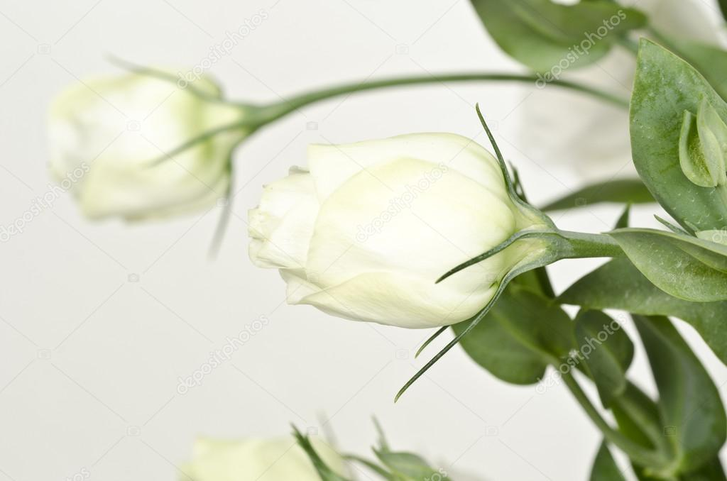 Single white rose stem