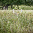 Stock Photo: Fallow Deer